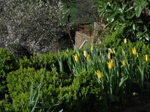 Tulips & artemesia foliage 024