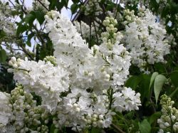 Edelflieder 'Mme Lemoine' - Syringa vulgaris 'Mme Lemoine'