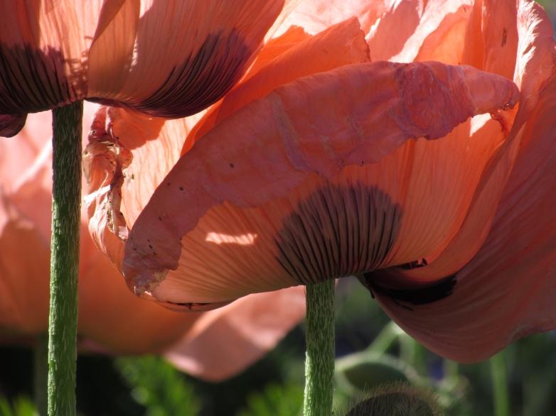 June borders & poppies 181