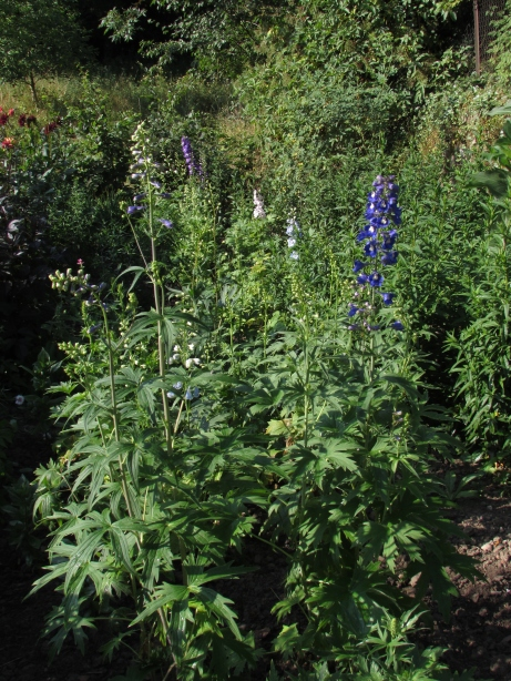 Nick's delphiniums flourished - and then were threatened late season by a marauding bullock from the other side of the river.