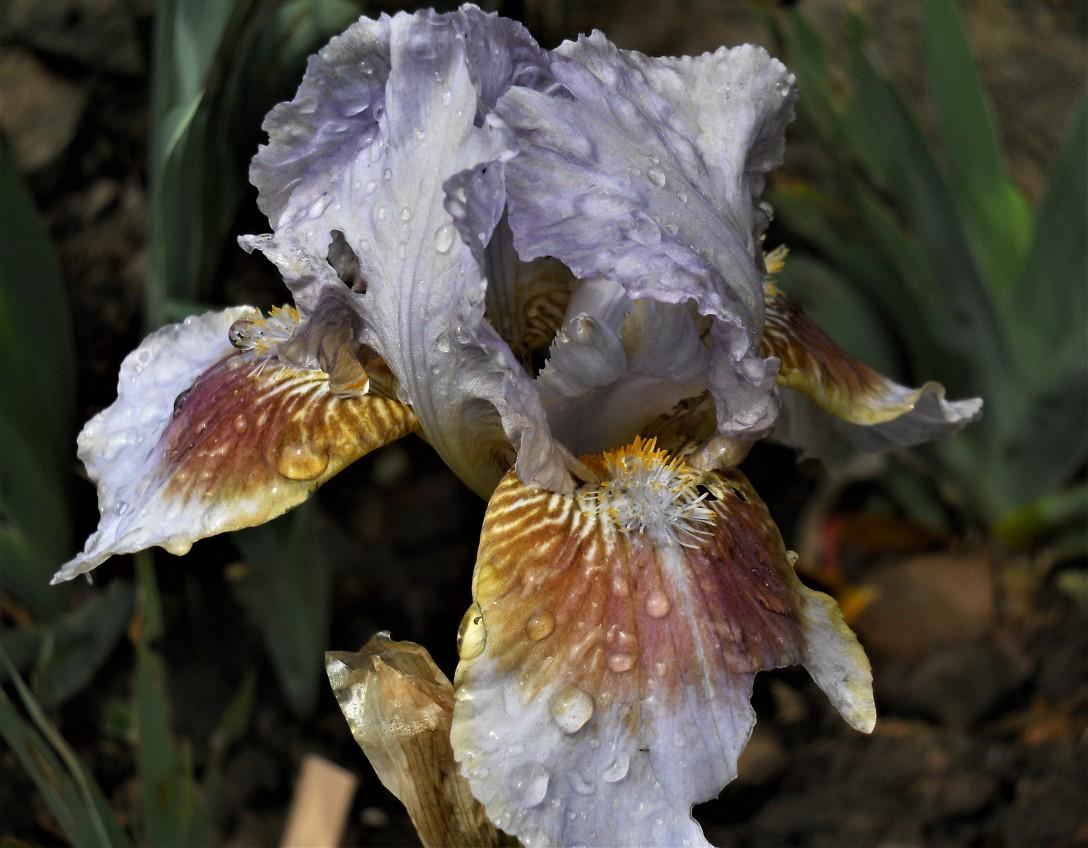 Alliums, iris & fennel 006 (2)