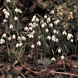 Snowdrops and ****** Brexit!
